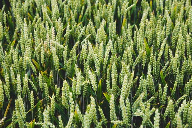 This example converts an image of wheat plants to Data URI text encoding.